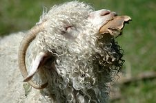 Free Woolly Sheep Royalty Free Stock Image - 5471126