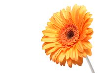 Free Yellow Gerber Stock Image - 5471301