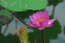 Free Colorful Water Lily In The Pond Royalty Free Stock Image - 5471516