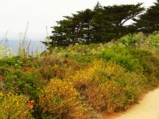 Free Wild Flowers At Point Lobos National Park Royalty Free Stock Images - 5471849