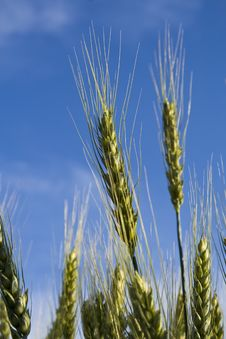 Free Golden Wheat Stock Image - 5472041