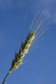 Free Golden Wheat Royalty Free Stock Photo - 5472115