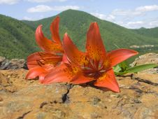 Free Tiger Lily Stock Images - 5472924
