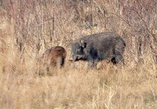 Free Wild Sow Stock Photo - 5472970