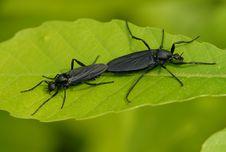 Free Mosquito (Penthetria Japonica) Royalty Free Stock Photos - 5473118