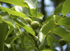 Green Walnuts In The Tree Royalty Free Stock Photography
