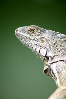 Free Iguana Royalty Free Stock Image - 5473786