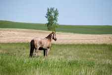 Horse In Pasture Stock Image