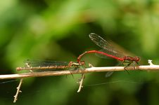 Free Damselfly Mating Stock Photography - 5474622