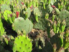 Free Cactus Stock Photo - 5475220