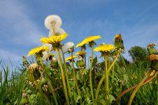 Free Dandelions Royalty Free Stock Photo - 5475255