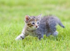 Free Kitten Playing In The Grass Royalty Free Stock Image - 5475606