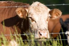 Free Cow And Barbed Wire Royalty Free Stock Photos - 5475758