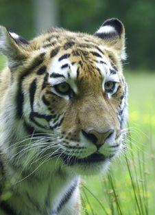 Free Tiger Stock Photos - 5476043