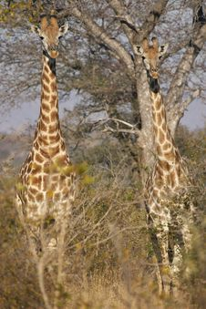 Free Two Juvenile Giraffes In Thornveld Royalty Free Stock Photography - 5476157