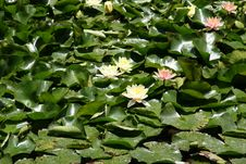 Free Waterlily Royalty Free Stock Photo - 5477045