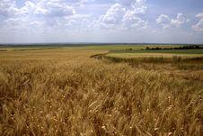 Free Field Of Mature Wheat Stock Photo - 5477210