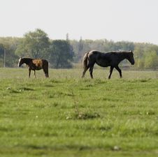 Free Horses On The Meadow Royalty Free Stock Image - 5477526