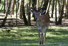 Free Fallow Deer Stock Photos - 5478333