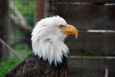 Free Bald Eagle Royalty Free Stock Image - 5478936