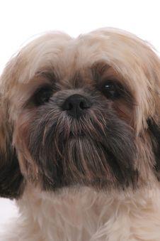 Free Shiatsu Dog Face Royalty Free Stock Image - 5479936