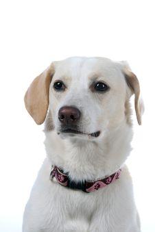 Free White Dog Looking Sad Stock Photography - 5479942