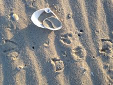 Free Bird Footprints And Two Shells On Sand. Stock Photos - 54734863