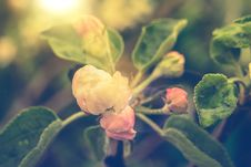 Free Retro Apple Blossom Royalty Free Stock Photos - 54762828