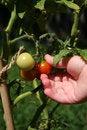 Free Tomato Picking Royalty Free Stock Photos - 5480448