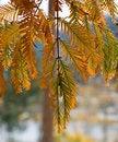 Free Close Up Of Spruce Tree Autumn Foliage Royalty Free Stock Photo - 5480985