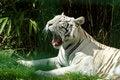 Free Bored White Tiger Royalty Free Stock Photo - 5482745
