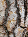 Free Pine Bark Royalty Free Stock Photos - 5483608