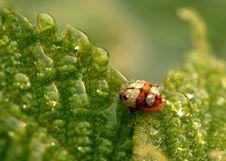 Free Ladybug Royalty Free Stock Photography - 5480087