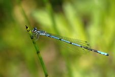 Free Dragonfly (Coeliccia Cyanomelas) Royalty Free Stock Photos - 5480978