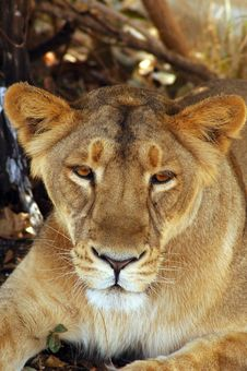 View Of A Lioness Royalty Free Stock Image
