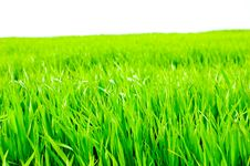 Free Grass Isolated Royalty Free Stock Images - 5481699