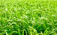 Free Grass With Water Drops Royalty Free Stock Images - 5481769