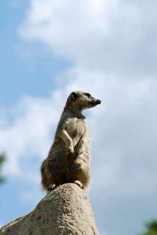 Free Another Curious Meercat Royalty Free Stock Photography - 5482717