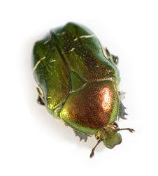 Free Afraid Bronze Beetle Stock Photography - 5482752