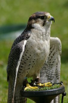 Free Perched Falcon Stock Image - 5482761