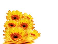 Free Gerbera Daisies Stock Photography - 5482932