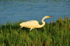 Free Egret In Sunlight Royalty Free Stock Photo - 5483015