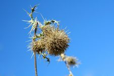 Free Dry Prickly Weed Royalty Free Stock Images - 5483679