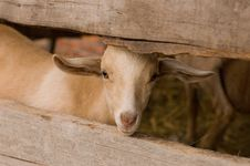 Free Milch Goat Stock Images - 5484164