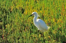 Free Egret In The Marsh Royalty Free Stock Photos - 5484388