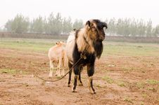 Free Milch Goat Royalty Free Stock Image - 5484406