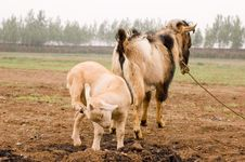 Free Milch Goat Stock Photos - 5484473