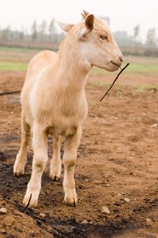 Free Milch Goat Stock Images - 5484494