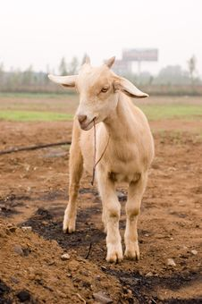 Free Milch Goat Stock Photography - 5484512