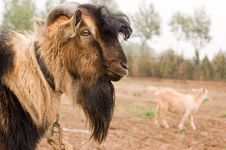 Free Milch Goat Royalty Free Stock Image - 5484596
